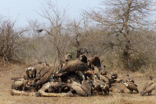 Zebra pożerana przez sępy w Parku Narodowym Krugera